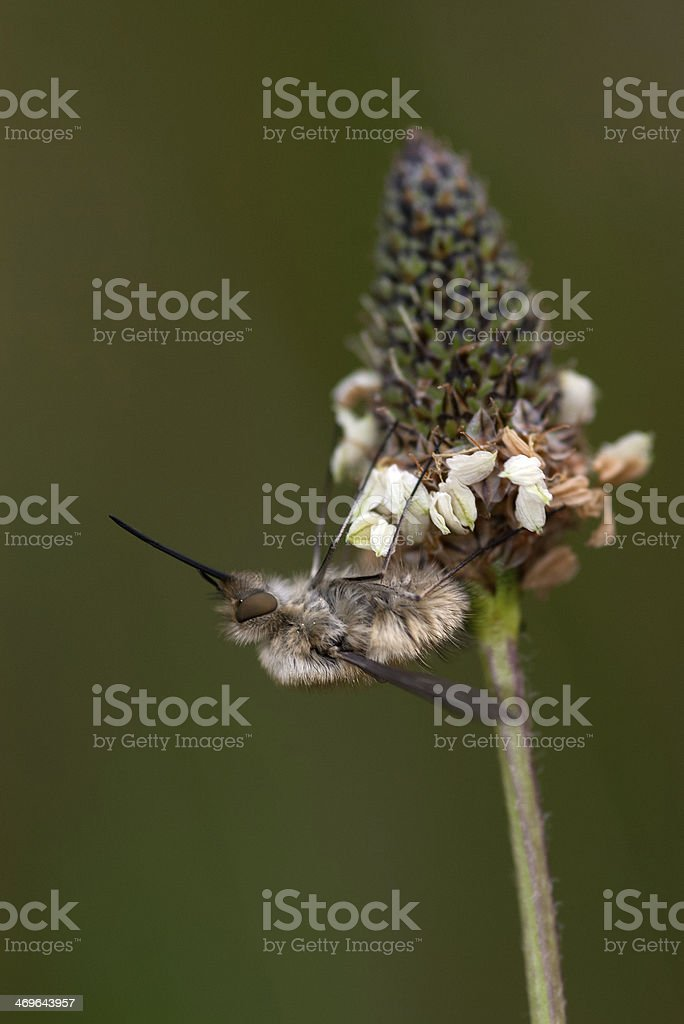 Bee fly (Bombylius major) sitting on an flower stock photo
