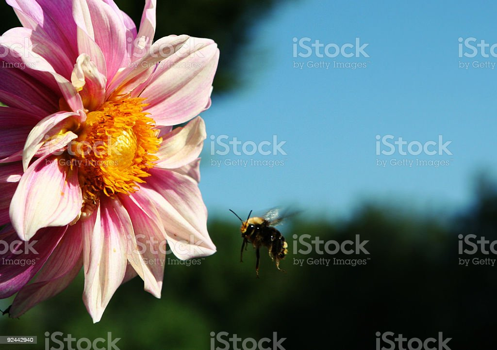 Bee Flying Away from Flower royalty-free stock photo