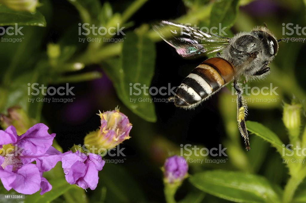 Bee Flying royalty-free stock photo