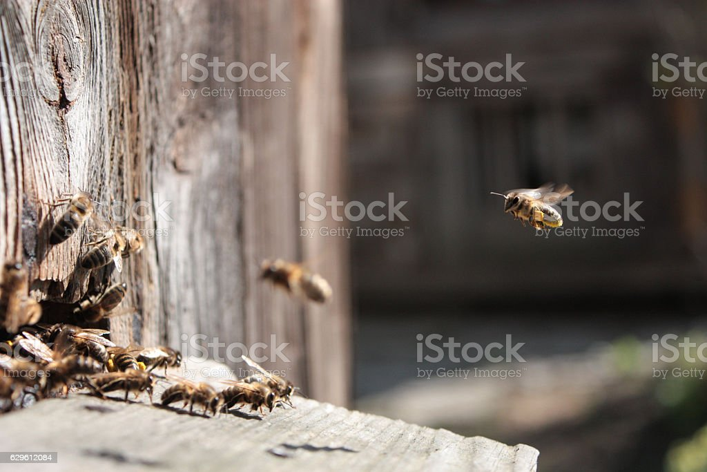 Bee flying to hive. The bees enter the hive. stock photo