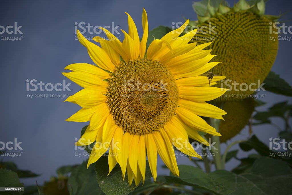 Bee flying to sunflower stock photo