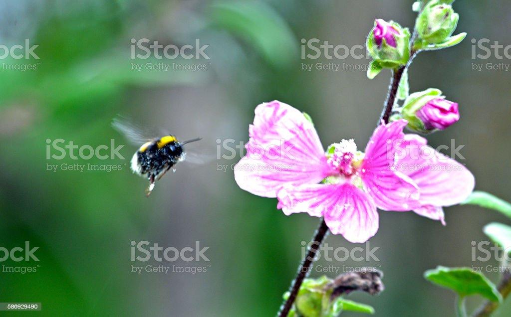 Abeille volant en direction de fleurs photo libre de droits