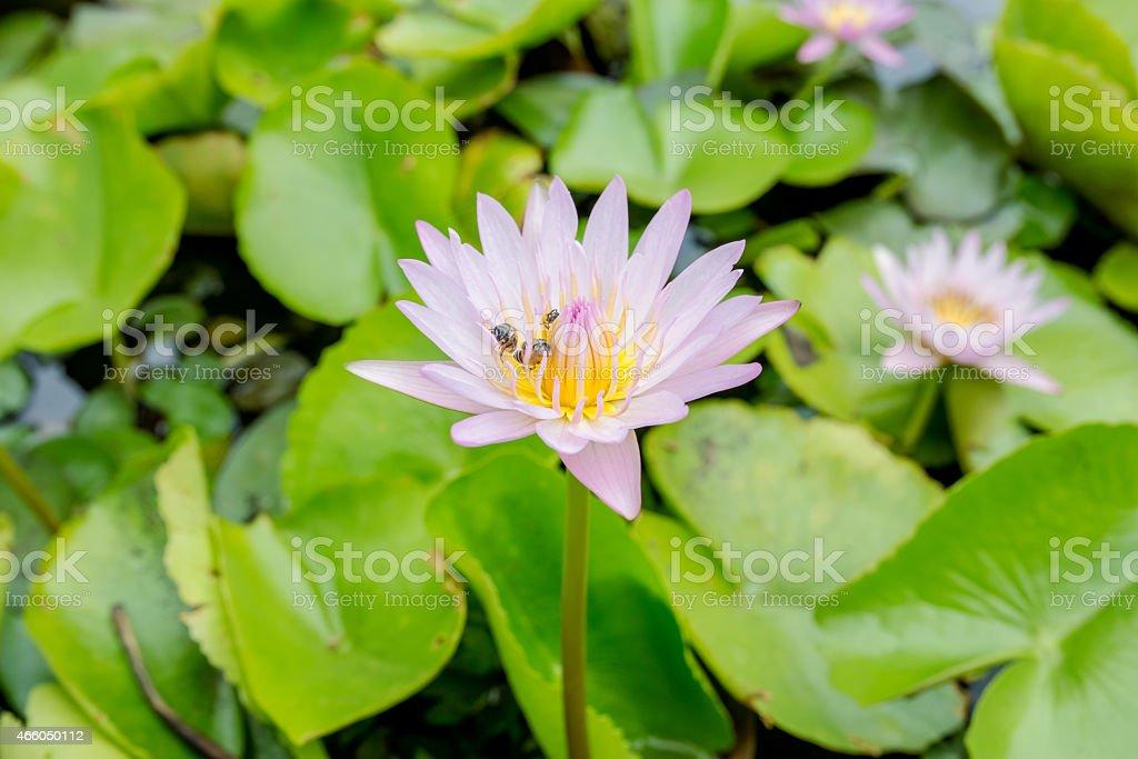Bee foraging on lotus stock photo