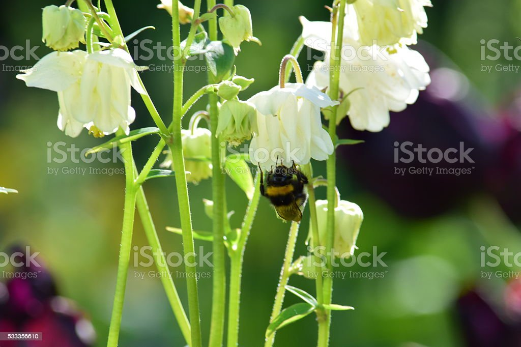 Bee foraging on white aquilegia flowers stock photo