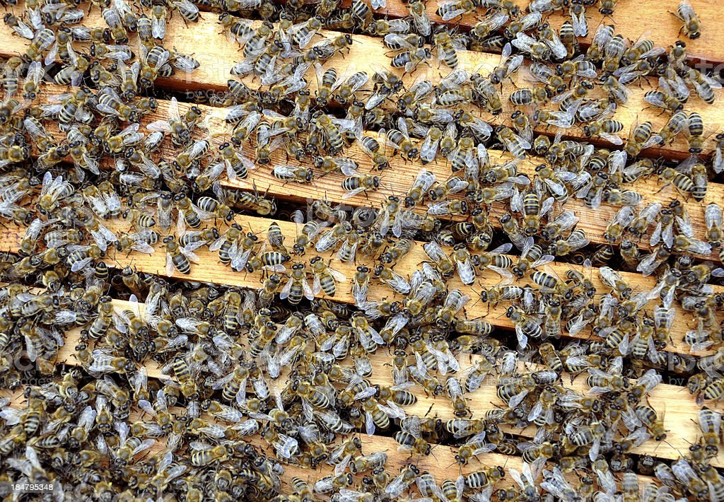 bee frames with bees royalty-free stock photo
