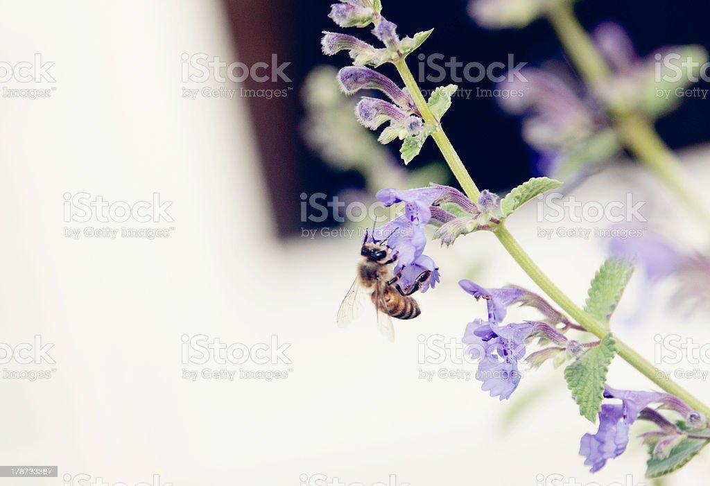 Bee Gathering Honey royalty-free stock photo
