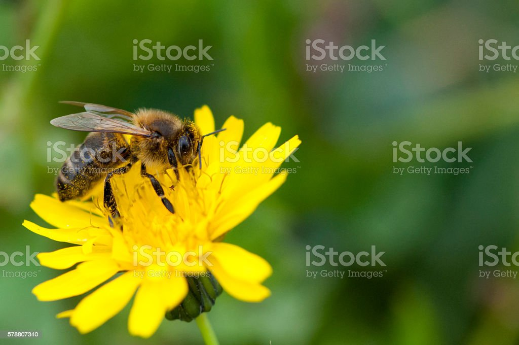 Bee gathering pollen on a yellow flower in Marseille, France stock photo