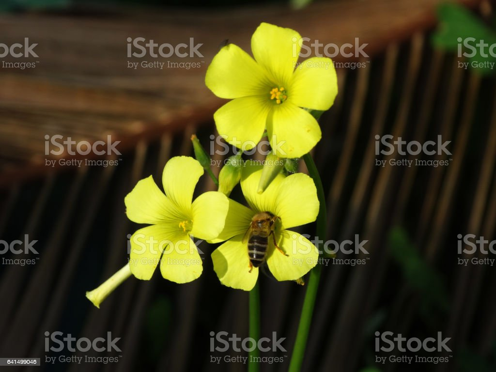 Bee getting pollen on the yellow flower sorrel stock photo