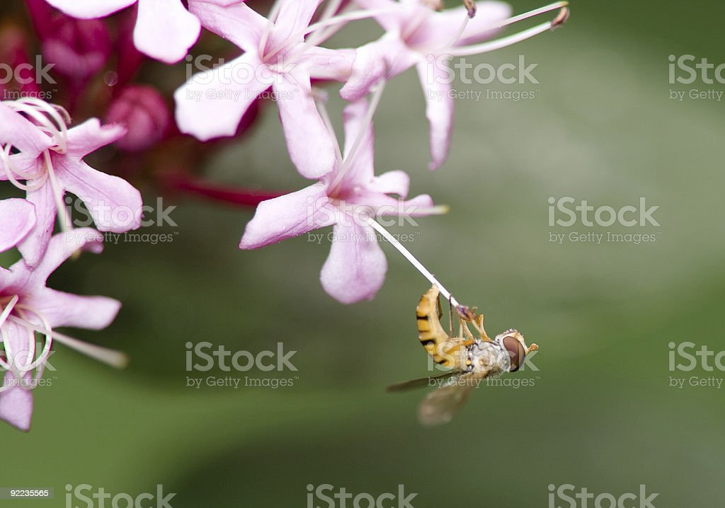 Bee hanging pink flower royalty-free stock photo