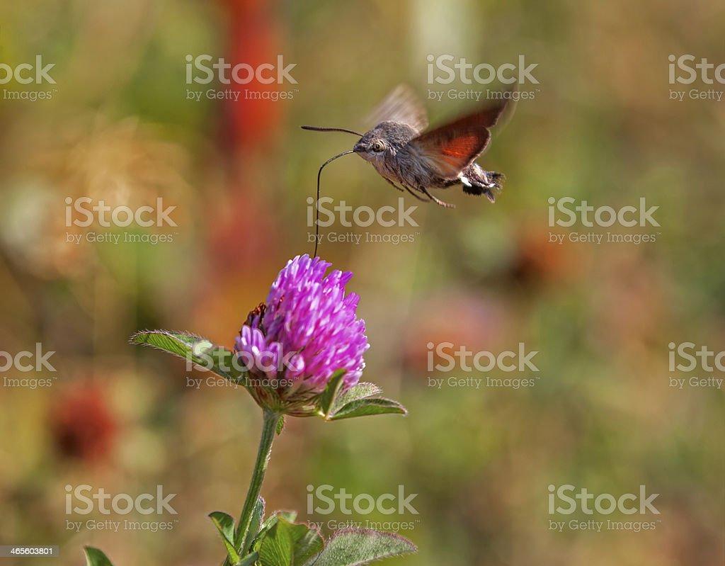 Bee Hawk-Moth Hemaris Fuciformis stock photo