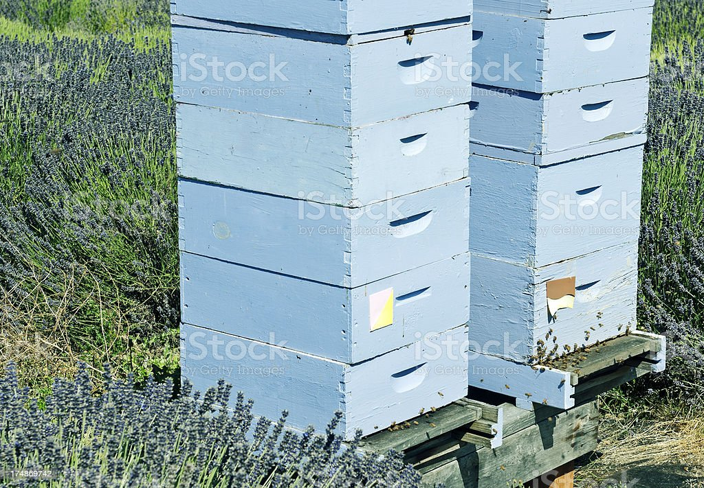 Bee hives in lavendar field royalty-free stock photo