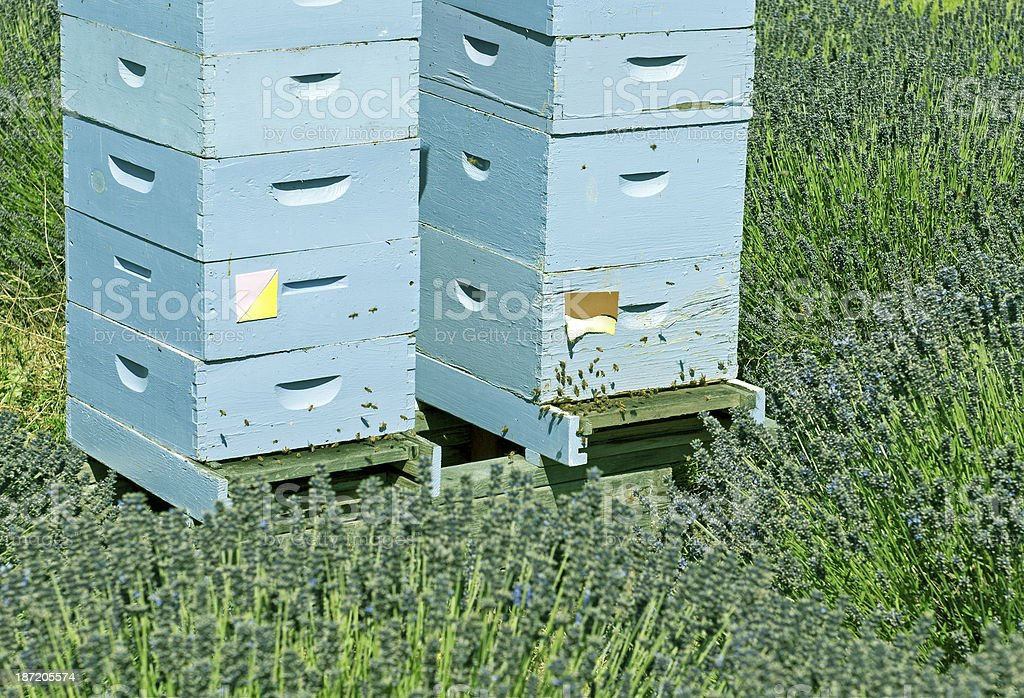 Bee hives stacked in lavender field royalty-free stock photo