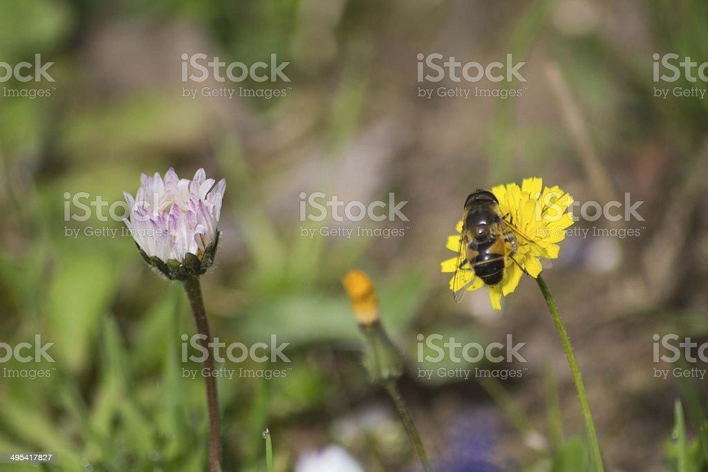 Bee, Honey Bee royalty-free stock photo