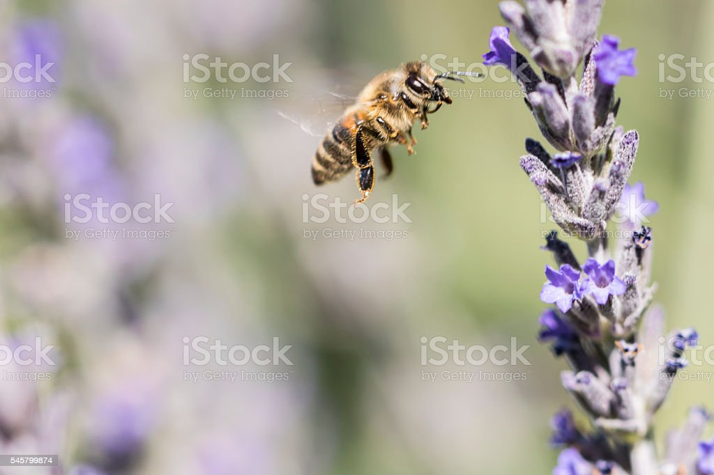 Bee hovering stock photo