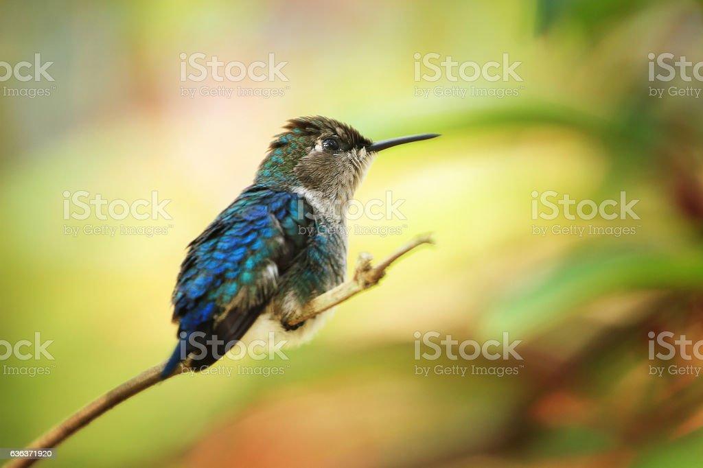 Bee hummingbird stock photo