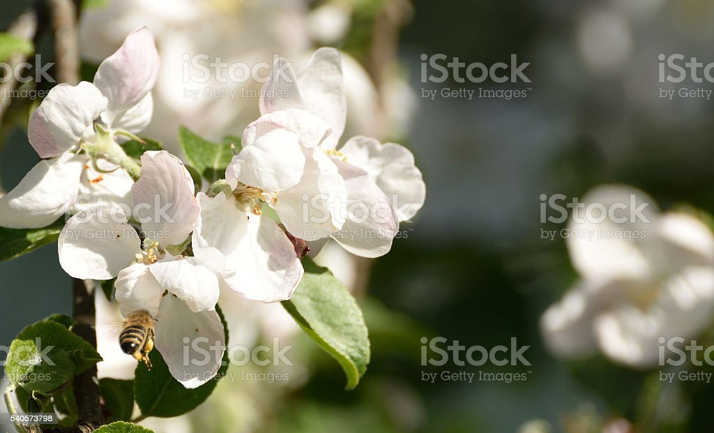 Bee in Apple Blossoms stock photo