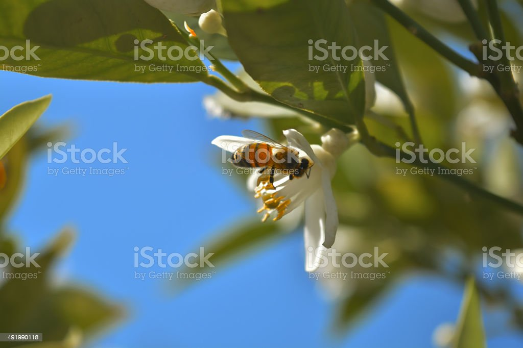 Bee in blossom 3 stock photo