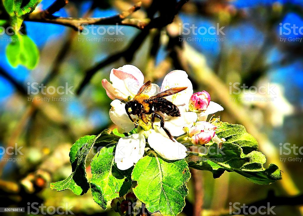 Bee In Blossom stock photo