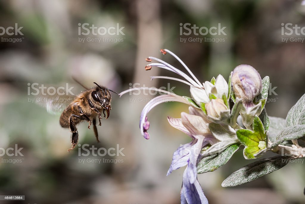 bee in flight just before gathering pollen from a flower stock photo