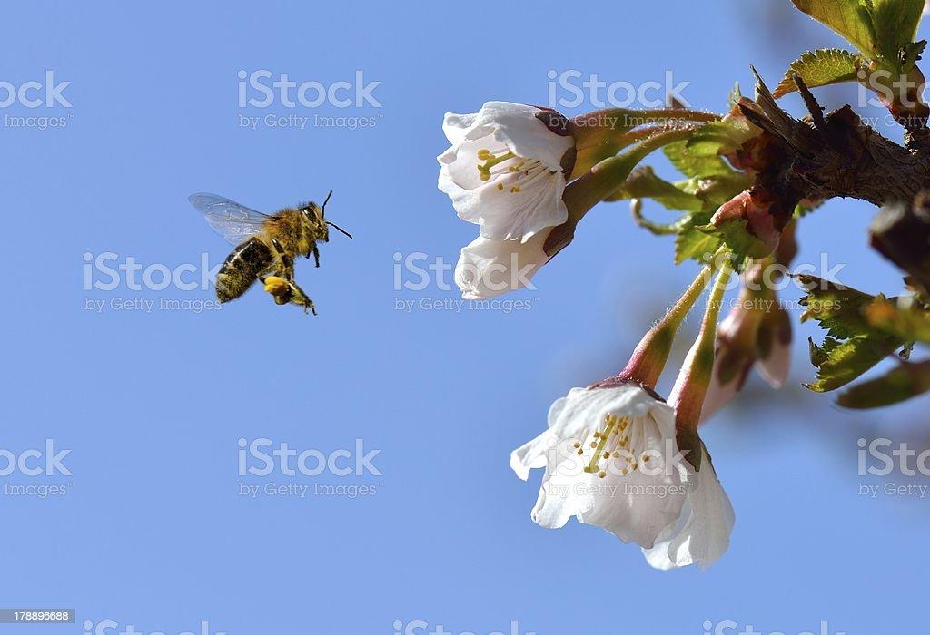 Bee in Flight royalty-free stock photo