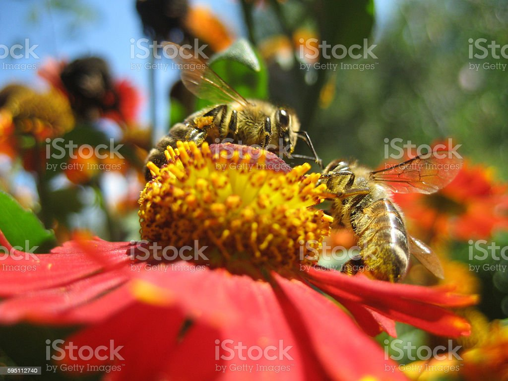 Bee in flower  amazing,honeybee pollinated of yellow stock photo