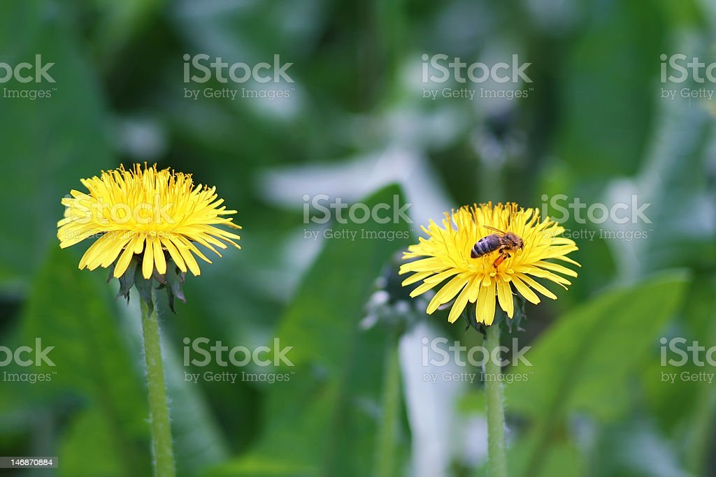 Bee in flowers royalty-free stock photo