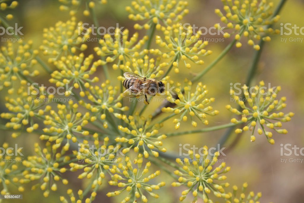 Bee in her larder royalty-free stock photo