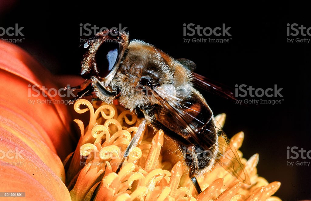 bee in macro on flower blossom stock photo