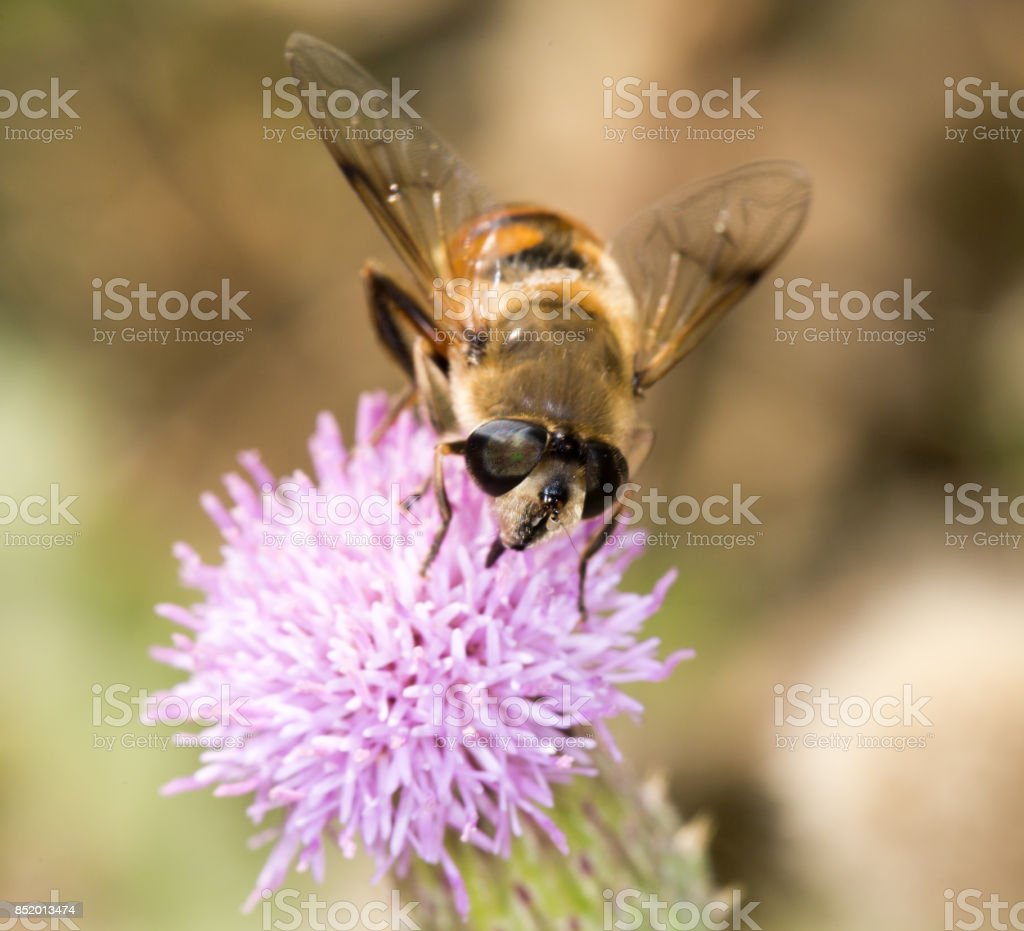 bee in nature. close-up stock photo