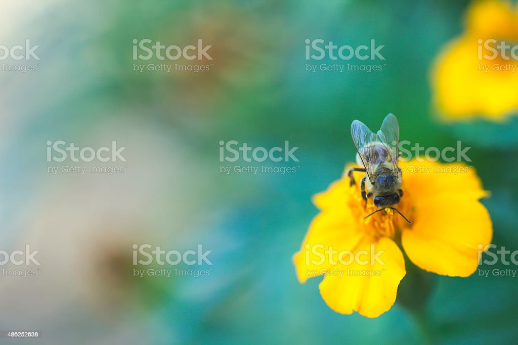 Bee in orange flower, copy space stock photo