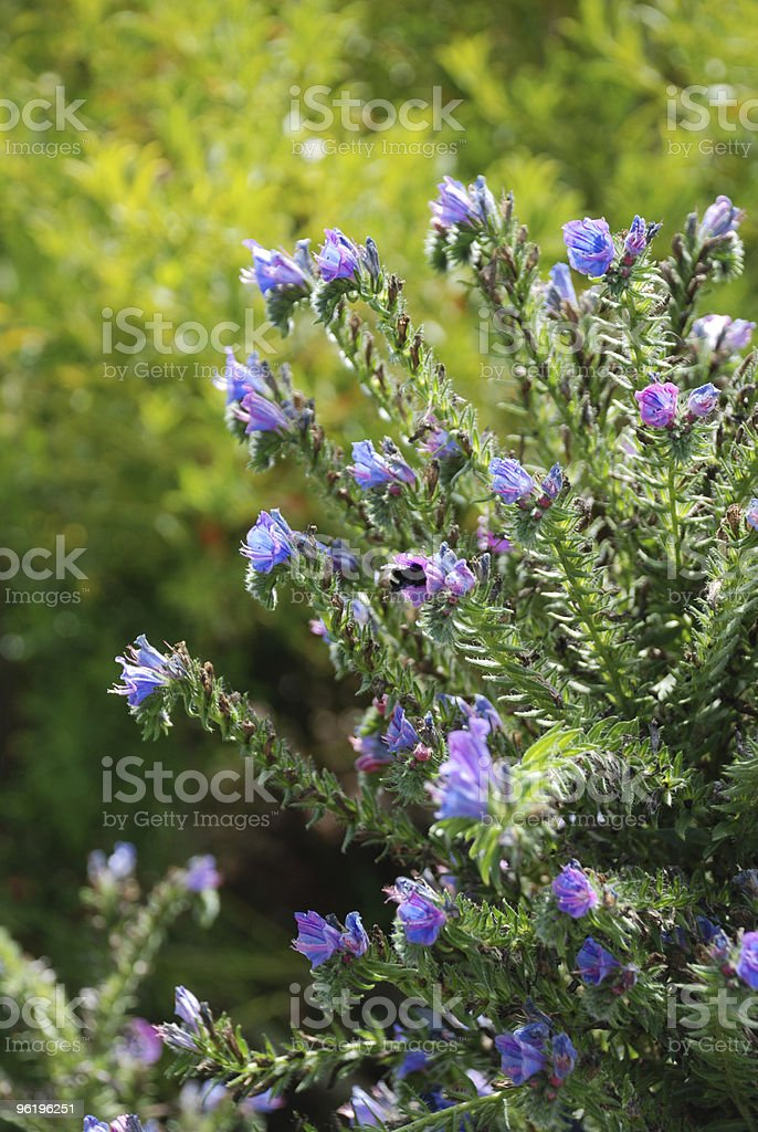 Bee in Purple Flowers royalty-free stock photo