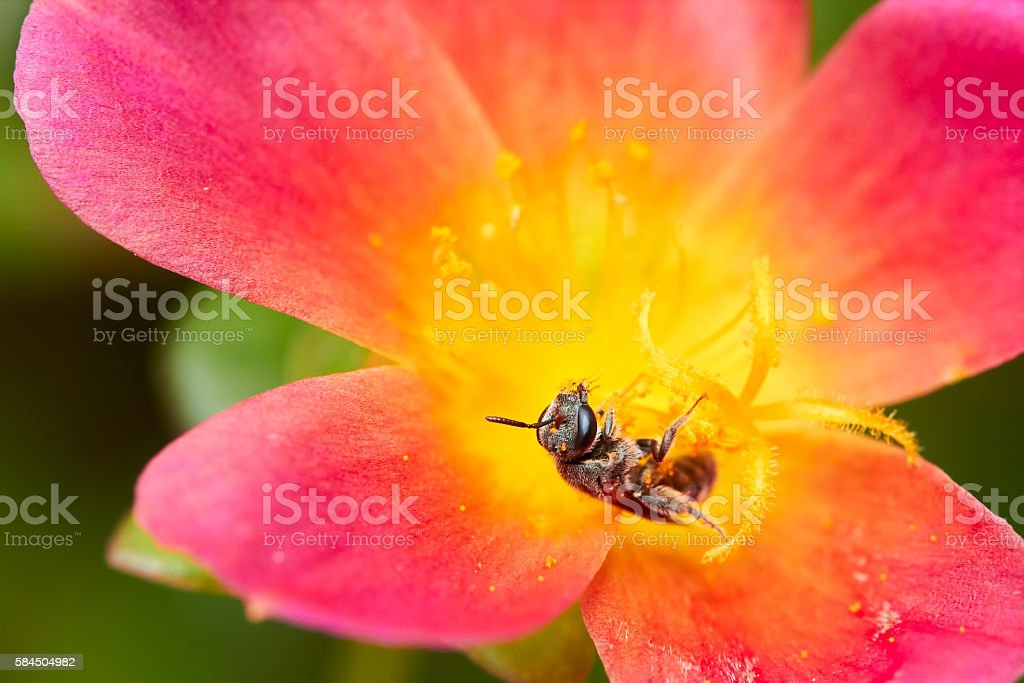 Bee in red flower stock photo