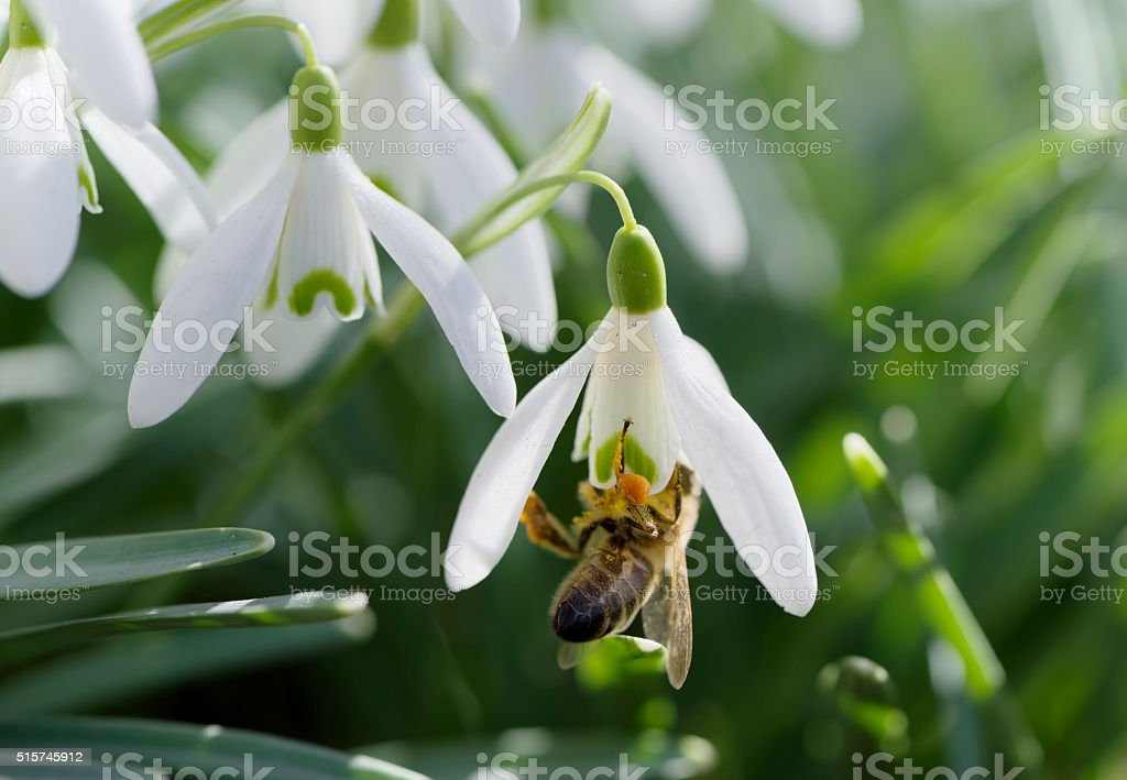 Bee in snowdrop stock photo