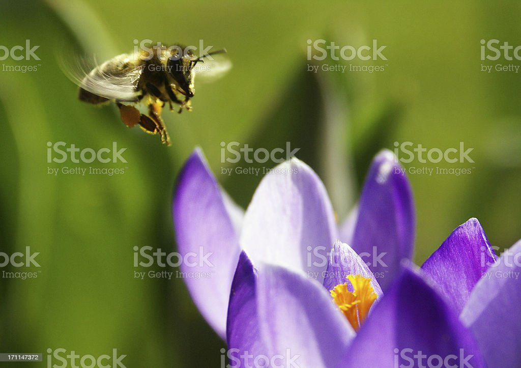Bee in the approach to a crocus royalty-free stock photo