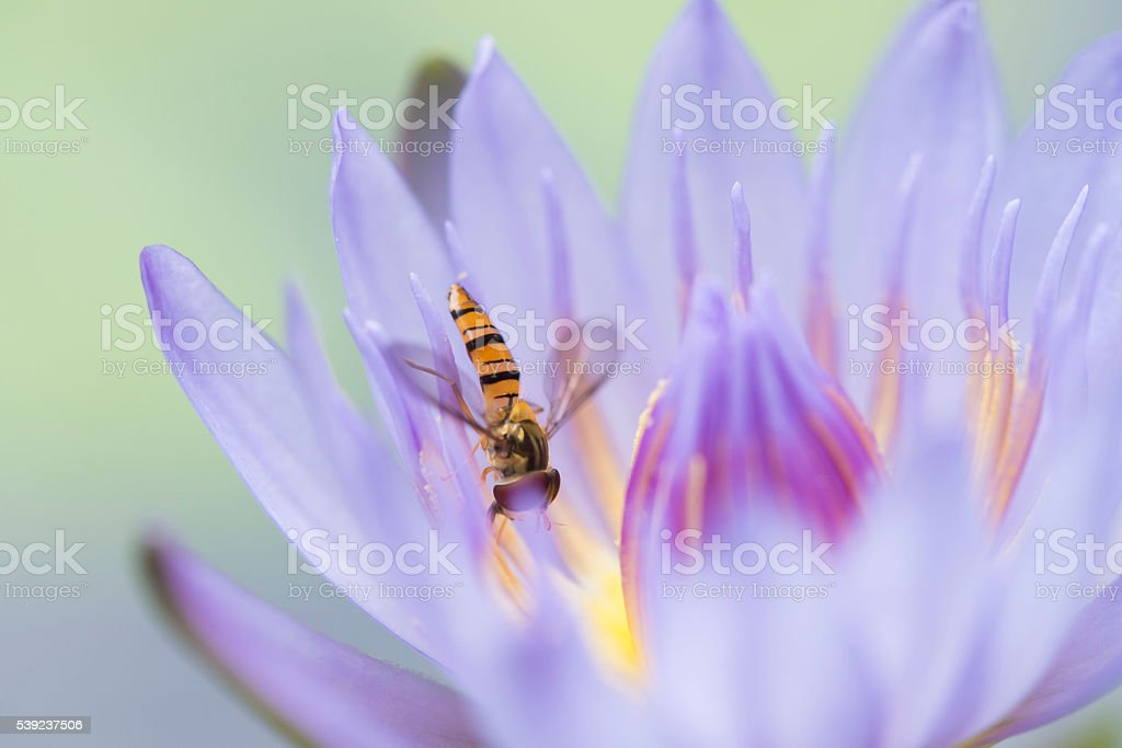 Bee in the purple blossom lotus stock photo