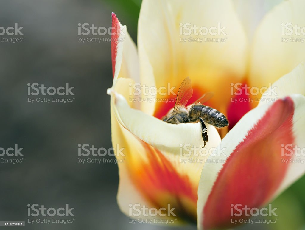 Bee in Tulips stock photo