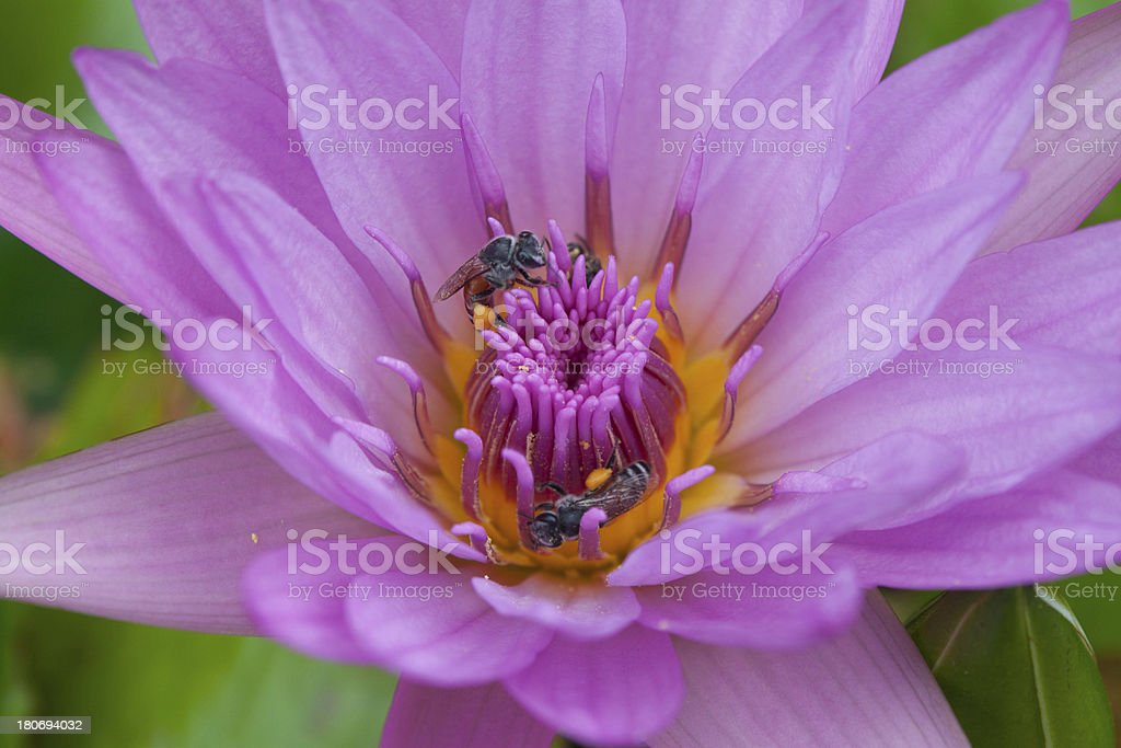 bee in violet water lily royalty-free stock photo