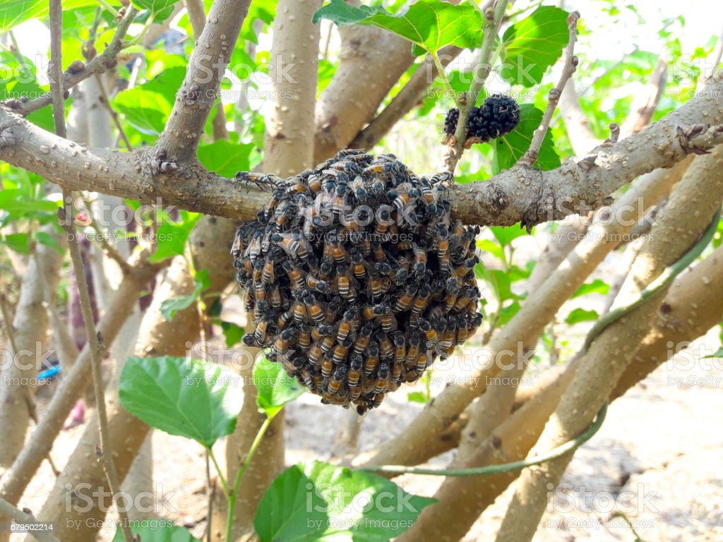 bee is on the mulberry tree. stock photo