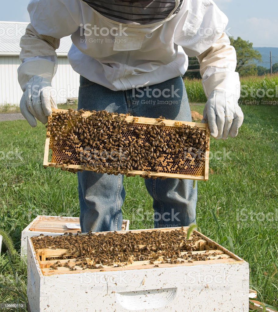 Bee Keeper Taking Honey, Lifting Comb from Hive, Agriculture royalty-free stock photo