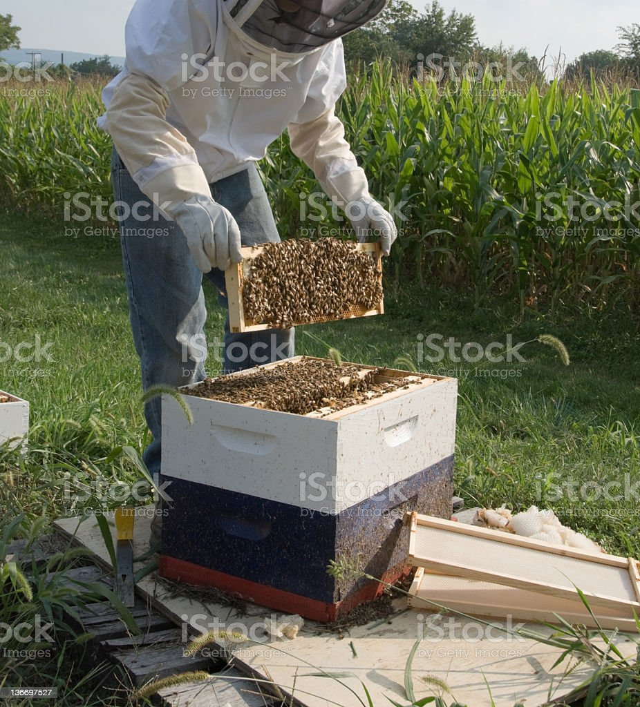 Bee Keeper Working with Beehive royalty-free stock photo
