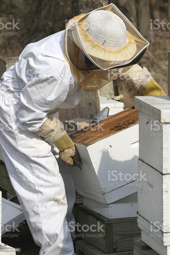 Bee Keeping royalty-free stock photo