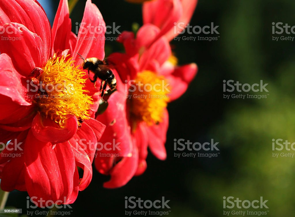 Bee Landing on Red Flower royalty-free stock photo