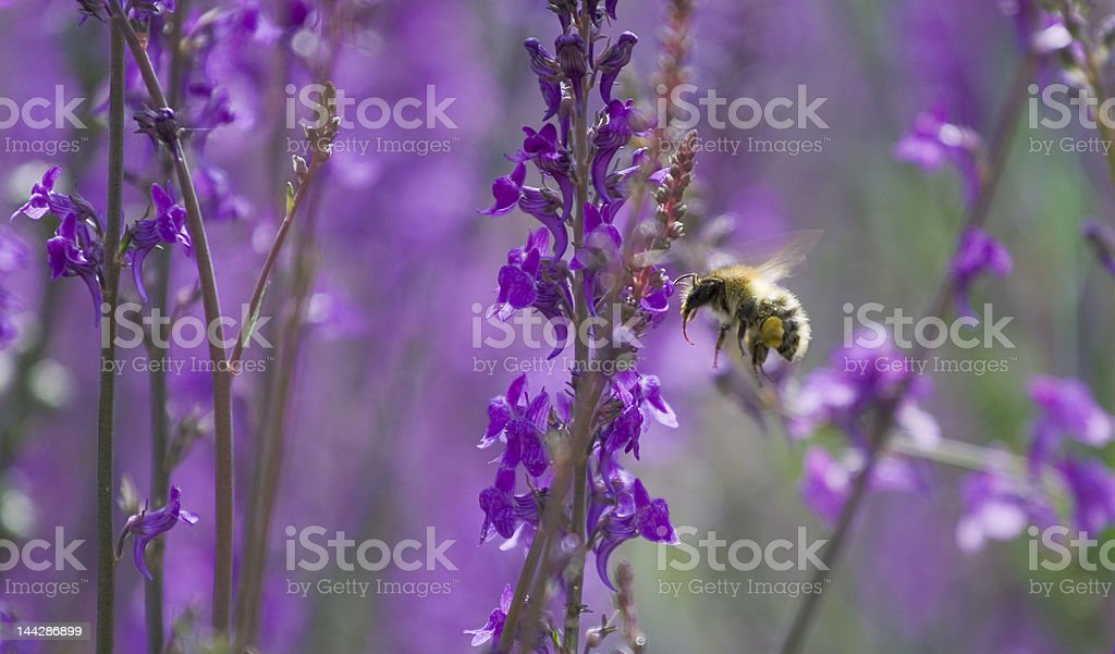 Bee Landing royalty-free stock photo