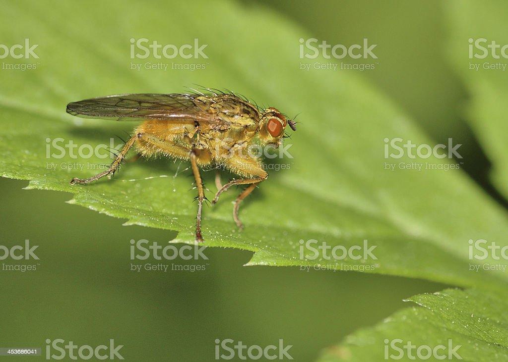 Bee Like Tachinid Fly stock photo