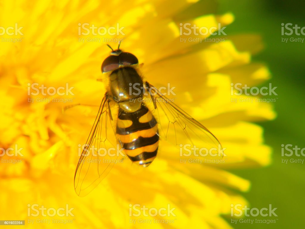 Bee looking fly browsing on a dandelion (Taraxacum officinale)  flower stock photo