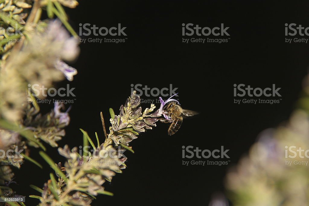 bee macro stock photo