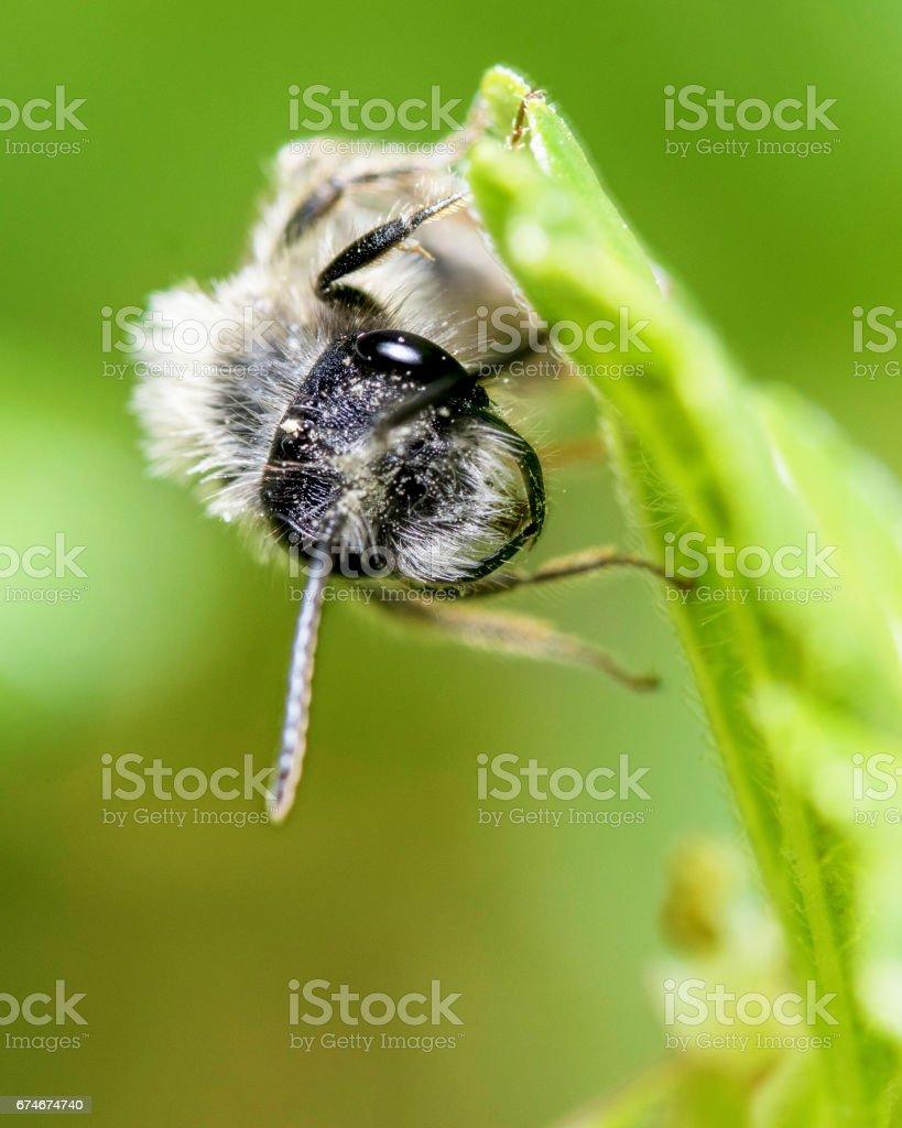 Bee, mining bee stock photo