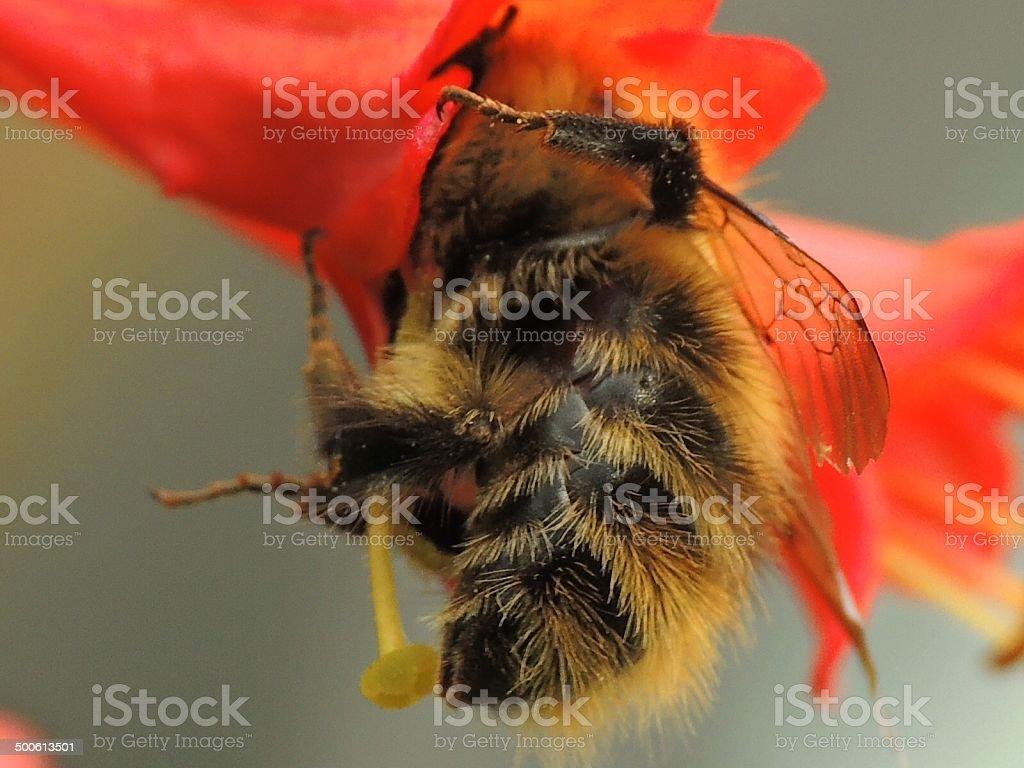 Bee my blossom royalty-free stock photo