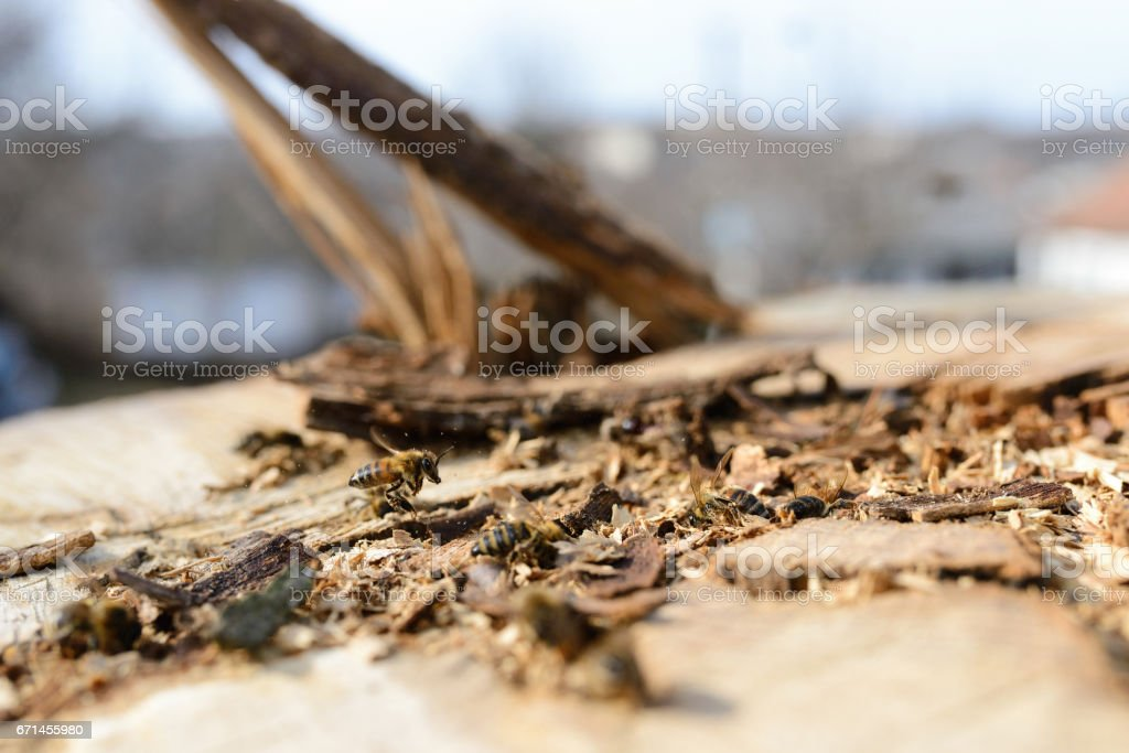 Bee on a cut tree stock photo