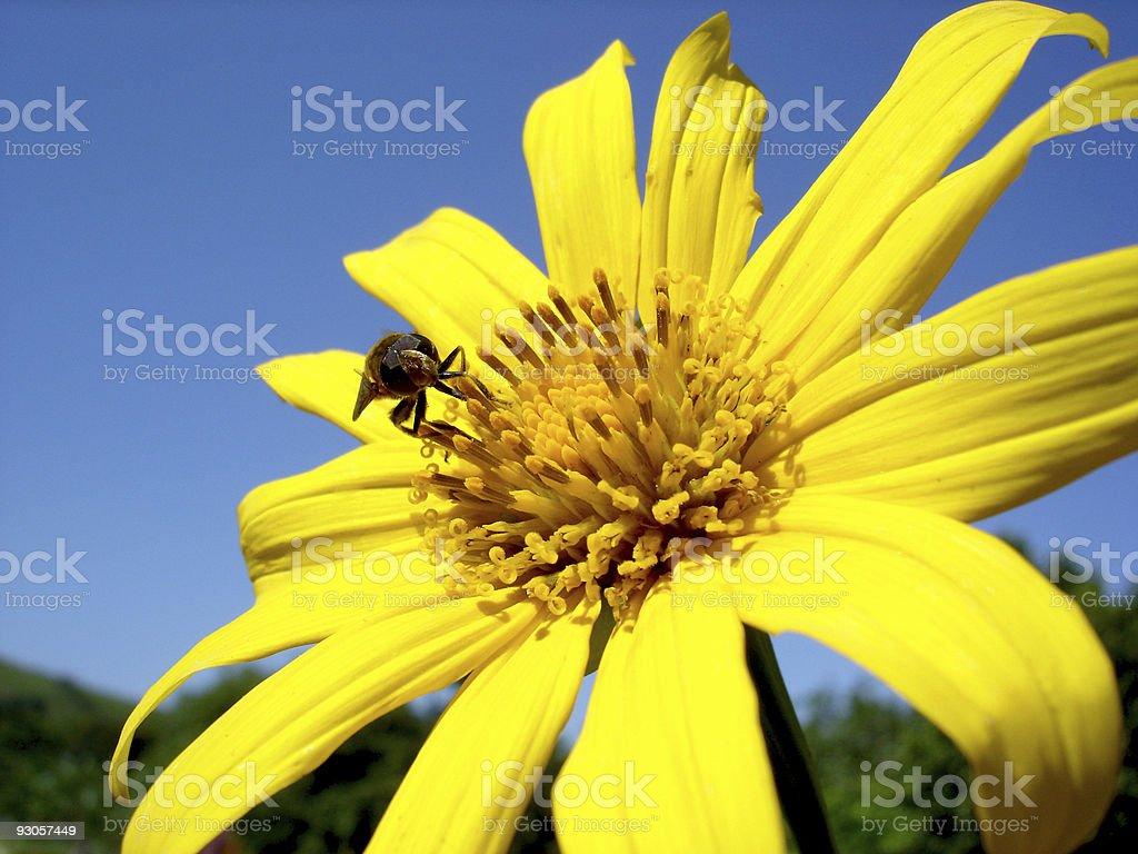 Bee on a daisy royalty-free stock photo
